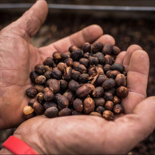 Excepcional café de la variedad arabica typica con un sabor exótico